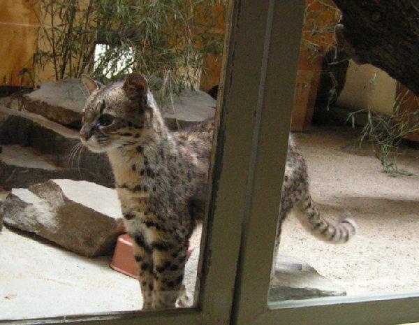 英名 Geoffroy`s Cat ...